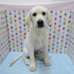 【犬猫動物動画まとめ】№16332 ラブラドール・レトリーバー