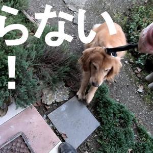 【犬猫動物動画まとめ】ゴールデンレトリバー散歩