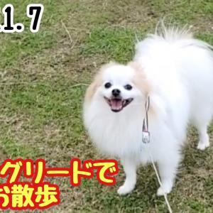 【犬猫動物動画まとめ】【ポメラニアン ライト】初ロングリードでお散歩【Pomeranian raito】I took a walk with my first long lead