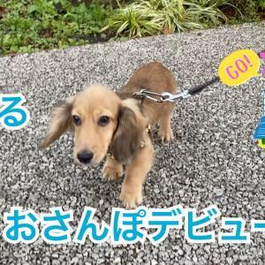 【犬猫動物動画まとめ】カニンヘンダックス お散歩デビュー puppy dog walking outside for the first time