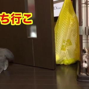 【犬猫動物動画まとめ】チワワと初対面