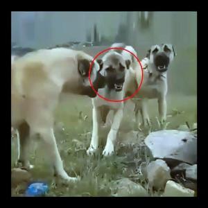 【犬猫動物動画まとめ】SiVAS KANGAL KOPEKLERiNDEN SAKINCALI ATISMA - KANGAL SHEPHERD DOGS VS