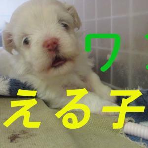 【犬猫動物動画まとめ】可愛く吠える犬の赤ちゃん