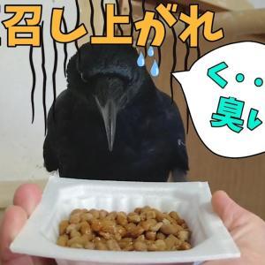 【激臭注意】カラスは納豆を食べる事が出きるのでしょうか? 水飲み姉弟&大吸引ダイソン犬 20191206、カラス&四つ足トリオ