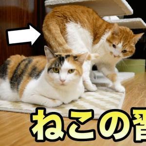 【しゃべる猫】一回転してから寝るかりんちゃんの理由