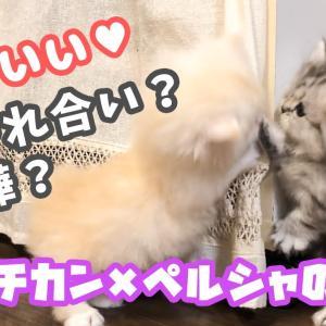 【犬猫動物動画まとめ】【子猫】じゃれ合い?喧嘩?生後37日目【マンチカン×ペルシャのハーフ】