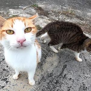 【犬猫動物動画まとめ】とにかく甘えたがる茶白猫とその茶白に甘えたがるキジ白子猫
