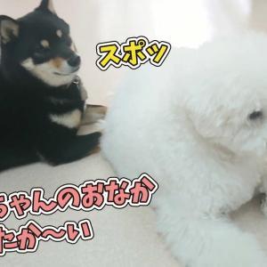 【犬猫動物動画まとめ】ビションフリーゼのおなかで暖をとる柴犬 🐶ひみつきちなう!②🐶  (チワワ トイプードル ミックス犬 フレンチブルドッグ) 2020年1月22日