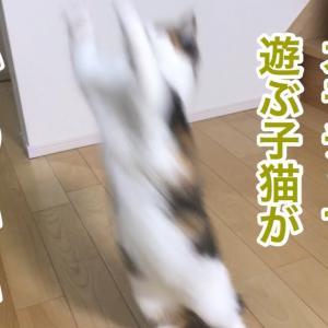 【犬猫動物動画まとめ】新しいオモチャで遊ぶ子猫うずらがかわいい!【サイベリアン】Siberian cat  Сиби́рская ко́шка