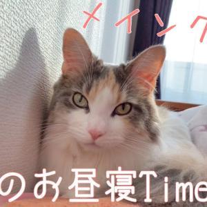 【メインクーン】ベルのお昼寝Time【成長記録】