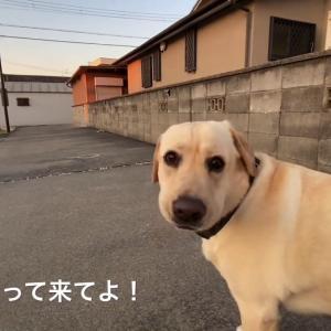 【犬猫動物動画まとめ】【大型犬】ラブラドールレトリーバーとの暮らし Labrador Retriever / チャピーの成長日記 #63【iPhone11】