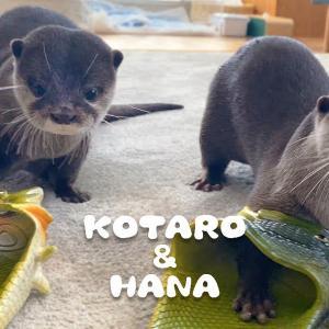 【犬猫動物動画まとめ】カワウソコタローとハナ 父ちゃんがまた変なモノを買ってきた Otter Kotaro&Hana Dad Always Buys Us Strange Gifts