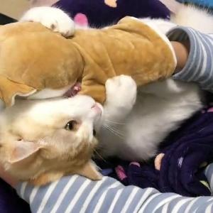 【犬猫動物動画まとめ】2020#31 Play with a cat and a puppet like a raccoon!