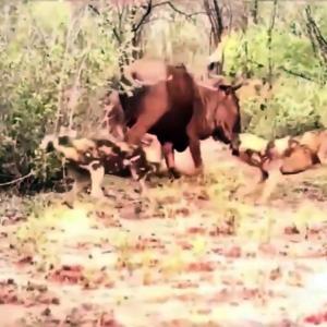 【犬猫動物動画まとめ】Best attack wild Epic Battle Of Wild dogs vs Animals is not never  Lion , Buffalo     Crazy Hunt