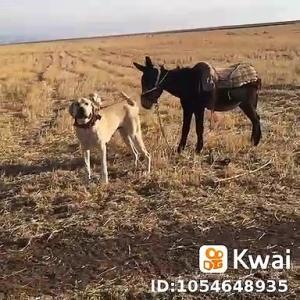 【犬猫動物動画まとめ】ADAMCI ANADOLU COBAN KOPEGi ve ESEK - ANGRY ANATOLiAN SHEPHERD DOG and MONKEY
