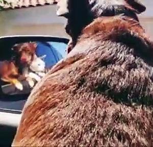 【犬猫動物動画まとめ】Joyous car ride in Arizona with 'Louie' the cat and 'Nachos' the dog