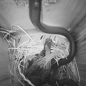 【犬猫動物動画まとめ】Sığırcık kuşu yavrularını korumak için yılanla böyle mücadele etti