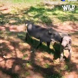 【犬猫動物動画まとめ】BABY WARTHOG WANTS TO DO WHATEVER HER DOG BROTHER IS DOING