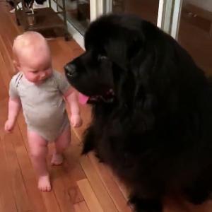 【犬猫動物動画まとめ】Baby Snuggles into Giant Best Friend
