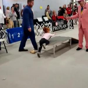 【犬猫動物動画まとめ】Toddler Uses Dog Ramp as Slide at Dog Show