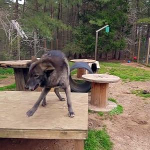 【犬猫動物動画まとめ】Wolfdog Loves to Howl