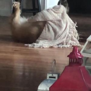 【犬猫動物動画まとめ】Dog Rolls Around on the Floor Playing With Blanket