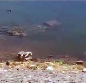 【犬猫動物動画まとめ】Crocodile attacks dog in  Kalri Lake   Shahid Saleem
