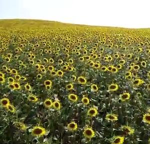 【犬猫動物動画まとめ】ADANA - Çukurova'da sarıya boyanan ayçiçeği tarlaları doğal fotoğraf stüdyosu haline geldi (2)