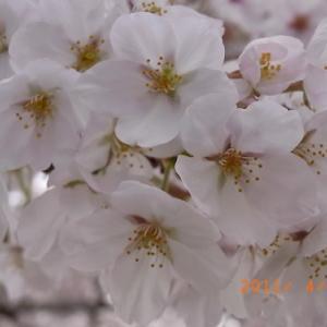 自然の語り手・プチヒーリング①さくら~春に会いましょう