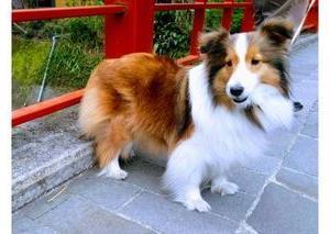 癒しの シェルティ ふわふわモフモフが魅力の犬