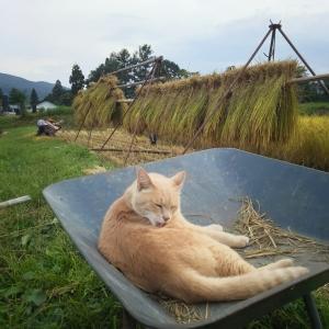 【田舎猫】ネコさん田植えにも参加!