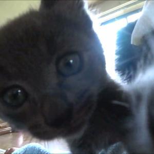 カメラに興味津々なロシアンブルー【子猫ver】