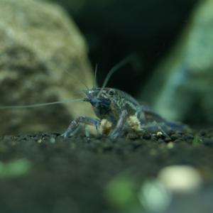 「抱卵中のザリガニ」の飼育情報の矛盾②