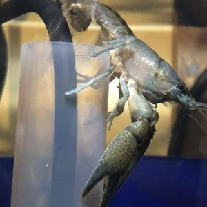 バスキューザ(procambarus vasquezae)の繁殖
