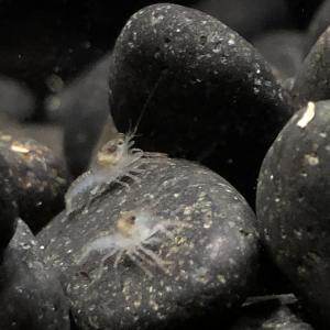 バスキューザ(procambarus vasquezae)の稚ザリ