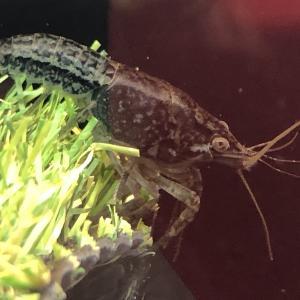 ザリガニ・特定外来生物規制について