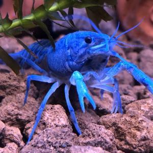 甲殻類の自切のしくみ