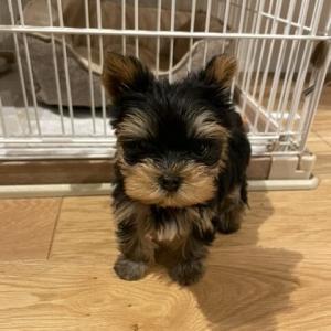 ヨークシャテリアの子犬をマイホームに迎えました!