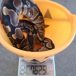 夏(8月)の体重測定(パイソン、ボア)