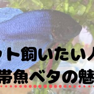 熱帯魚ベタの魅力!共働きでも帰宅が遅くてもペットを飼いたい!