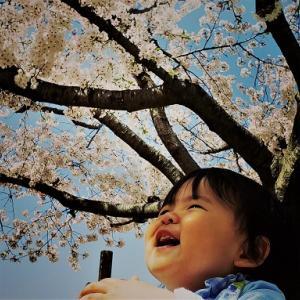 ❣❣桜咲く。団子三兄弟❣❣新参者『帝』~最上柄❣❣