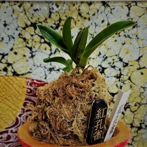 ❣❣新参者【紅孔雀】新作鉢❣❣ユウキくん。誕生日~~❣❣