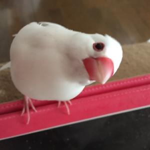 文鳥さん、小松菜は乗り物と思っている様子。