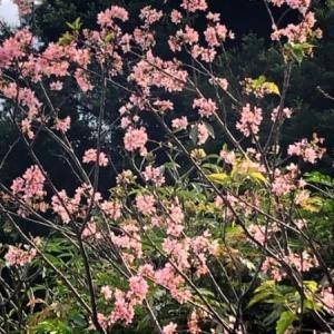 マカオで桜を楽しもう!二龍喉公園は家族で楽しめる癒しスポット