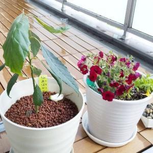経過観察、ベランダの植物たち 。アボカド&ミリオンベル