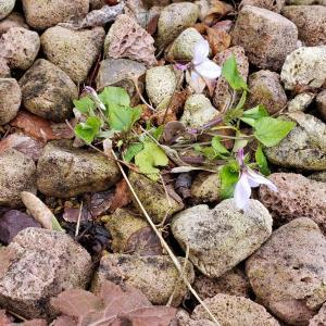 昨年植えたスミレが咲いたのにちょっと残念な件