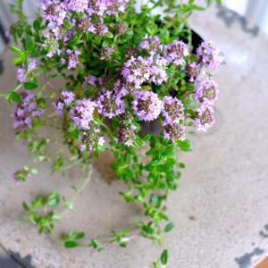 グランドカバーのハーブやお花のご紹介