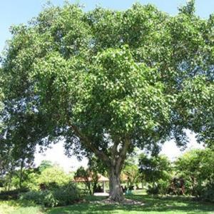 今日の瞑想 269 いちじくの木の下で悟られたことより偉大な事
