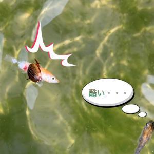 めだかの天敵! 道三は見た |ロ゚;)エェッ!!