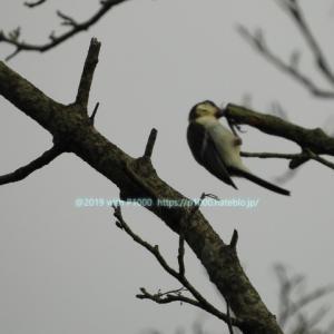 シジュウカラの幼鳥を撮った